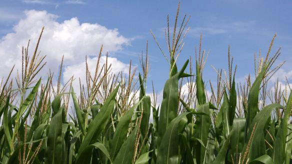 Corn tassels. Credit: Huw Williams.