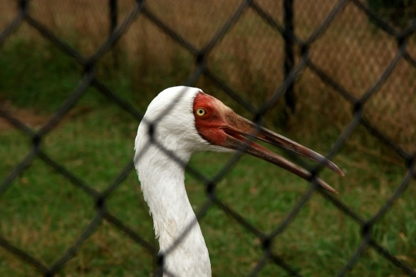 A Siberian Crane at the International Crane Foundation's facility in Baraboo, WI (Credit: Dan Klotz).